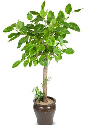 뱅갈고무나무-개업화분