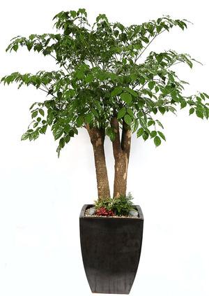 해피트리나무 개업화분