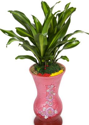 드라세나맛상 공기정화식물
