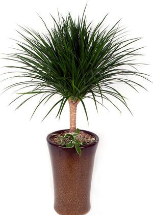 드라코 실내인테리어식물