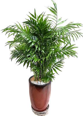 테이블야자 실내관엽식물