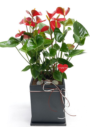안시리움 실내공기정화식물