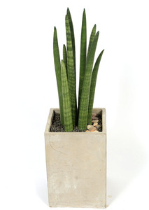 스투키사각 실내공기정화식물