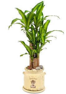 칼라행운목 사무실개업선물