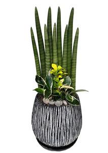 스투키모아 실내관엽식물