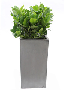 실내관엽식물 쿠르시아VIP