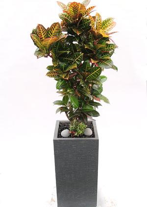 인테리어식물 크로톤명품+받침