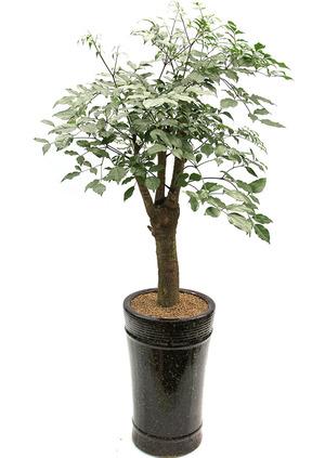 행복나무 가지목