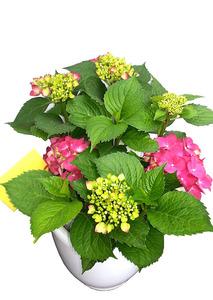수국화분-꽃화분배달