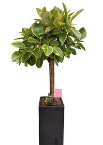 뱅갈고무나무-사각고급