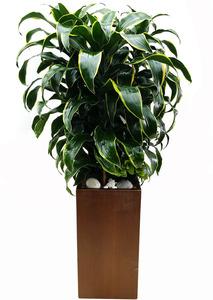 토레이도-관엽식물