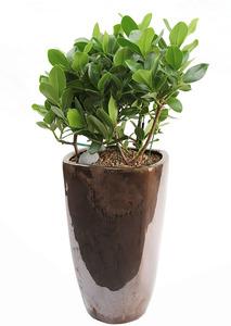 실내관엽식물 크루시아고급분