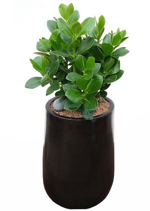 실내공기정화식물 쿠르시아