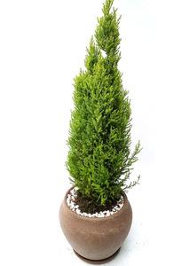 율마+물받침-공기정화식물
