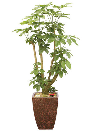 호텔현관로비 대엽홍콩야자