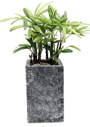 서황금사각 실내공기정화식물