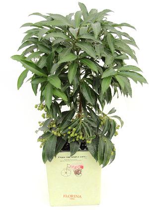 만년금-공기정화식물