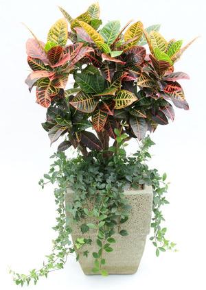 잎크로톤-테라분