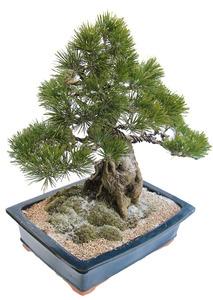 축하화분 소나무 고급분재-12