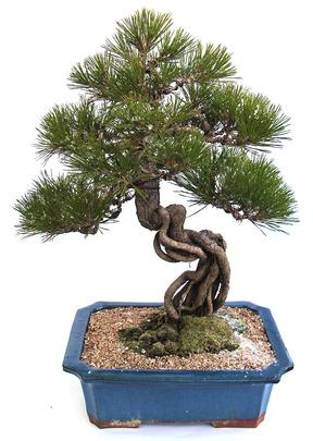 승진축하선물 소나무 근삭-9