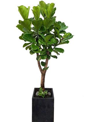 VIP떡갈고무나무-사각