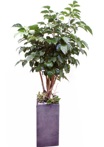 녹보수-관엽식물-개업화분