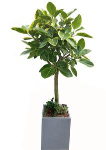 뱅갈고무나무-관엽식물