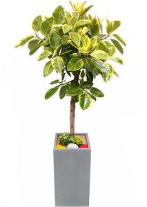 뱅갈고무나무-시멘트분