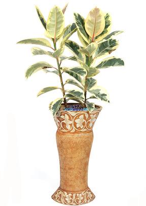 무늬고무나무-베리제