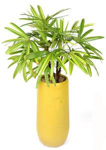 실내관엽식물 연산금-고급원형