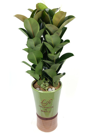 인도고무나무-공기정화식물