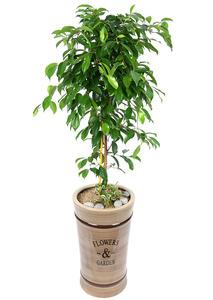 대만킹벤자민-관엽식물
