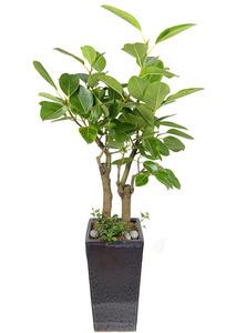 뱅갈고무나무-사각테라