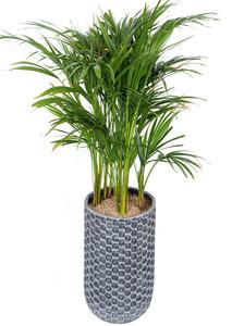 아레카야자-관엽식물