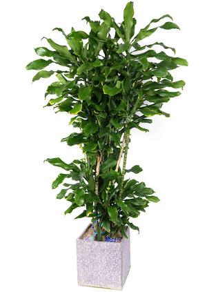 황금죽-VIP 실내인테리어식물