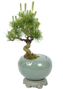 도자기화분 청자소나무