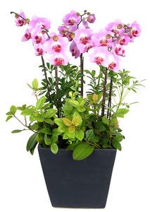 핑크호접대륜-식당개업선물