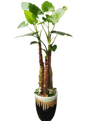알로카시아 실내공기정화식물