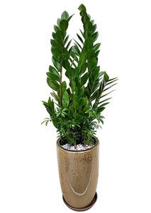 금전수-돈나무 둥근원형