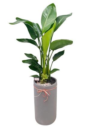 극락조화 실내공기정화식물
