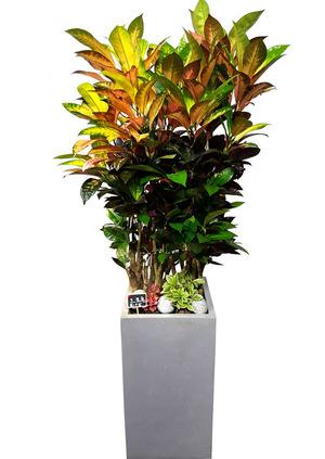 크로톤 VIP 실내관엽식물