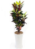 잎크로톤 둥근원형 실내식물