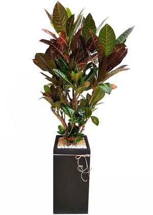 잎크로톤-사각