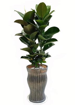 인도고무-원형 공기정화식물