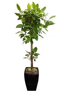 실내공기정화식물-뱅갈고무