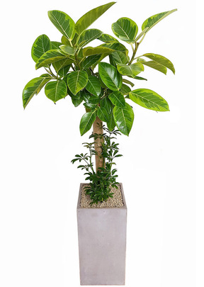 뱅갈사각 실내공기정화식물