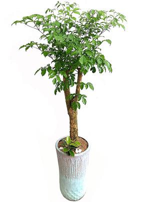 실내공기정화식물-해피트리