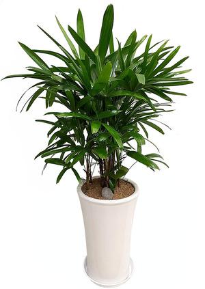 관음죽-원형 실내공기정화식물