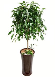 킹벤자민- 실내관엽식물