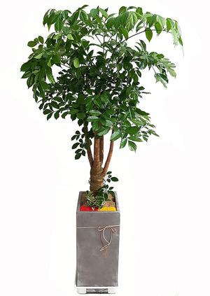 행복나무-실내공기정화식물